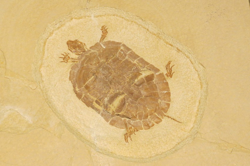 Turtle%20fossil%2C%20Royal%20Tyrrell%20Museum%2C%20JAT%202015