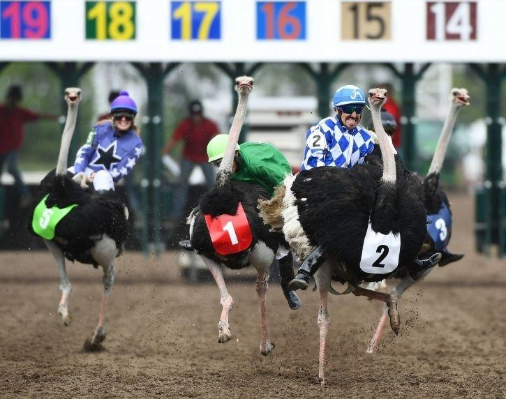 ostriches_raced_each_other_people_riding_them_1533115465_725x725