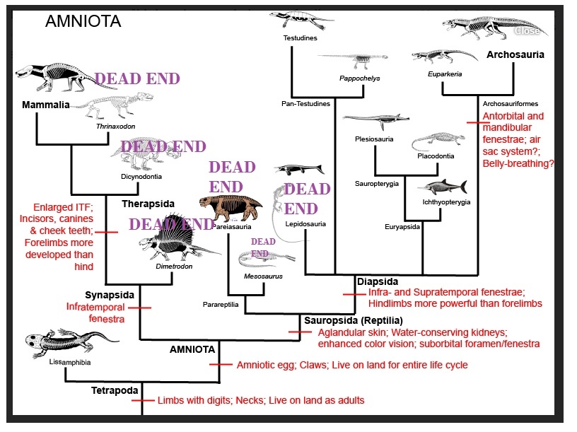AMNIOTA-REPTILES-and-MAMMALS-DEADENDS