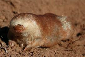 marsupialmole2